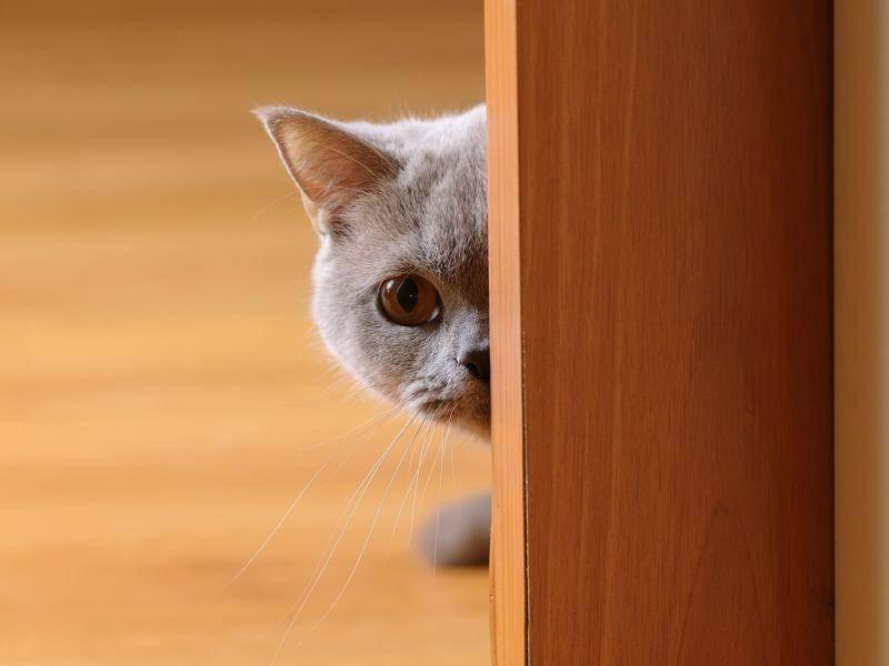 Hinter der Tür verstecken? Für diese Britisch Kurzhaar Katze eine Option — Bild: Shutterstock / Krylova Ksenia