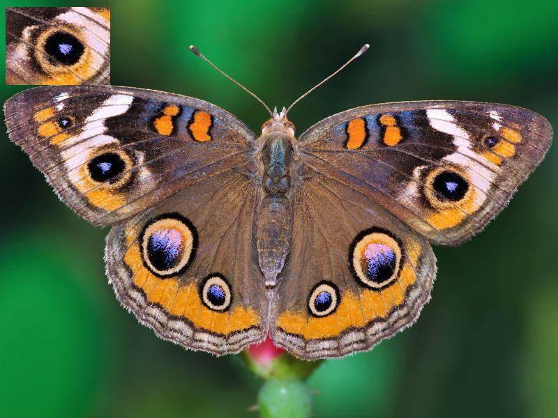Zugegeben, das war ein bisschen gemein. Dieses Tierauge gehört einem Buckeye Schmetterling — Bild: Shutterstock / StevenRussellSmithPhotos