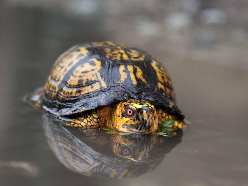 Carolina-Dosenschildkröte: Gehört einer nordamerikanischen Schildkrötenart an — Bild: Shutterstock / robcocquyt