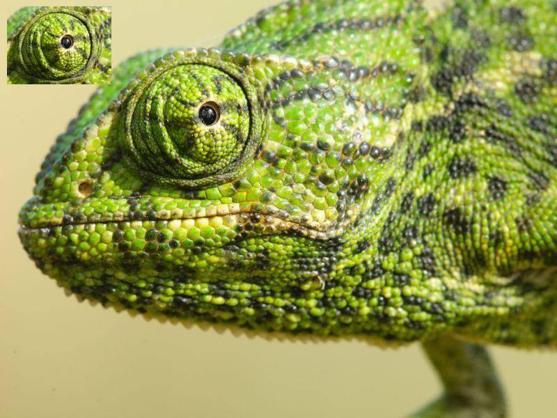 Chamäleon: Das Auge passt farblich perfekt! — Bild: Shutterstock / Tom linster