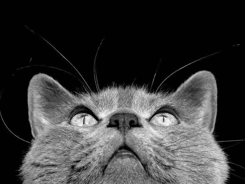Huch, was ist da oben? Schwarzweißbild einer Chartreux-Katze — Bild: Shutterstock / elfthryth