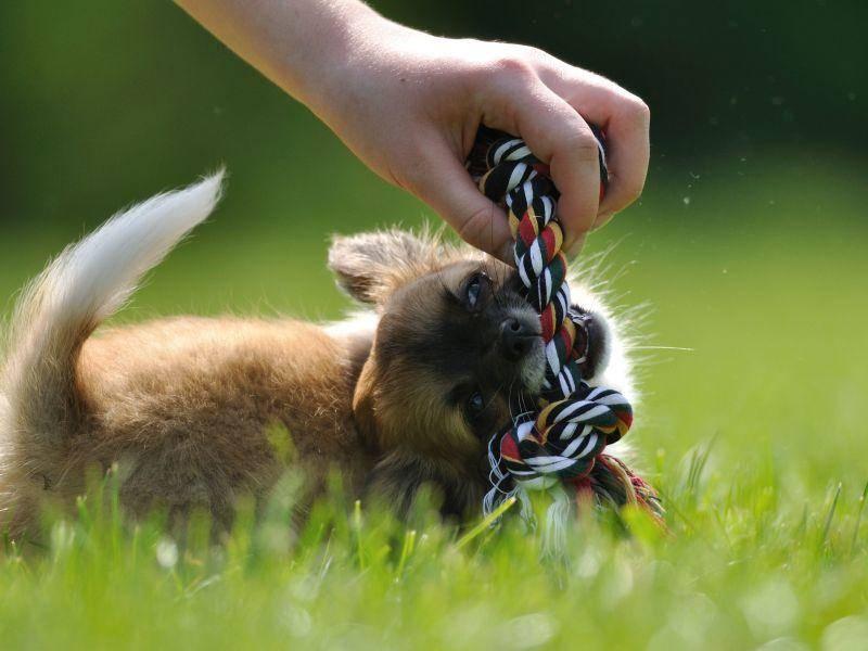 Ganz schön wildes Hundebaby: Chihuahua beim Spielen — Bild: Shutterstock / Stanislav Duben