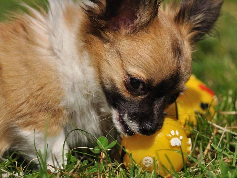 Fühlt sich schon ganz groß beim Spielen: Chihuahuahundebaby — Bild: Shutterstock / Stanislav Duben