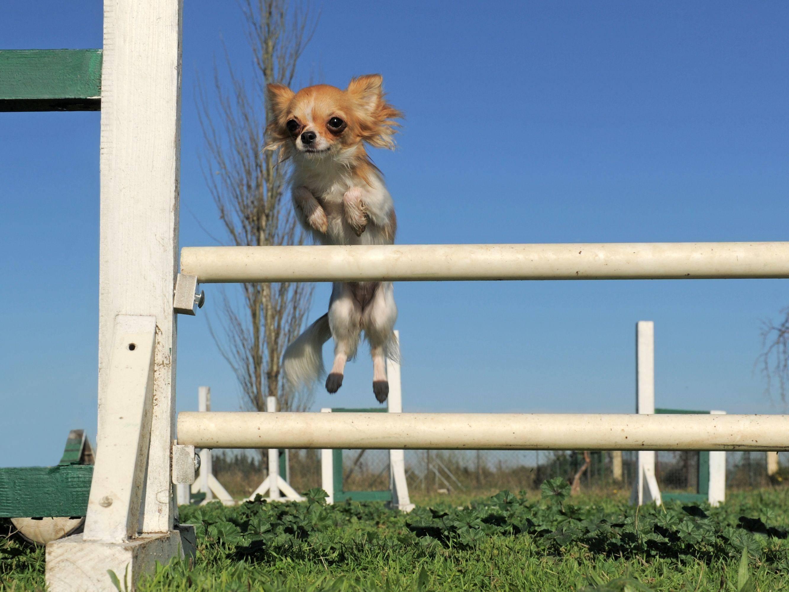 Dieser Chihuahua beweist: Auch ganz kleine Hunde können beim Agility mitmachen — Bild: Shutterstock / cynoclub