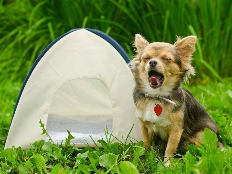 Zelten gewesen? Klar, dass dieser Chihuahua hundemüde ist — Bild: Shutterstock / Vitaly Titov & Maria Sidelnikova