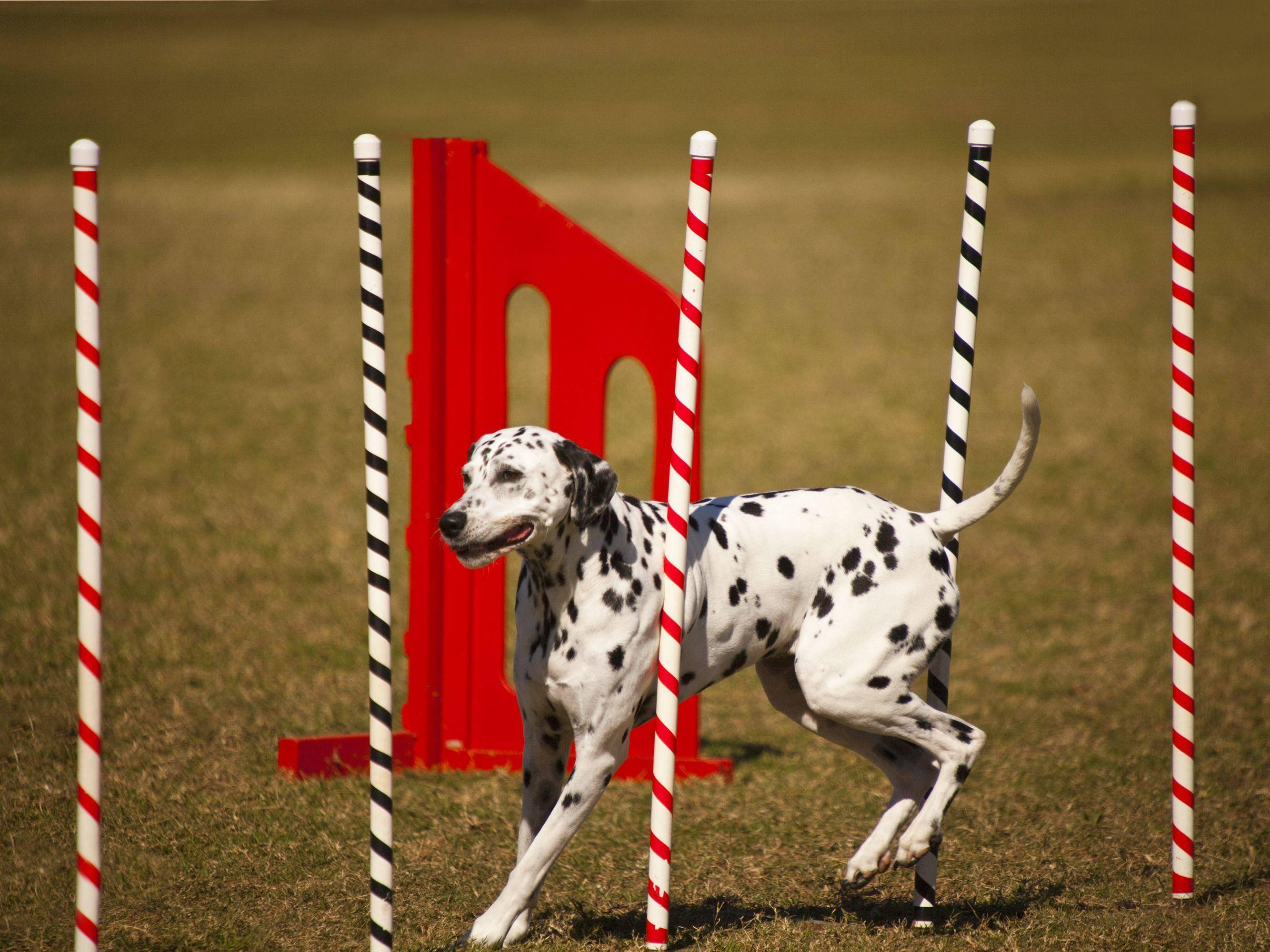 Agility-Sport ist für alle Hunderassen offen, die Spaß an Spiel und Sport haben, wie dieser Dalmatiner — Bild: Shutterstock / GTS Production