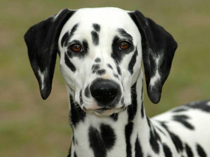 Dalmatiner: Ein munterer Hund, der mit schönen schwarzen Punkten übersät ist — Bild: Shutterstock / Anke van Wyk