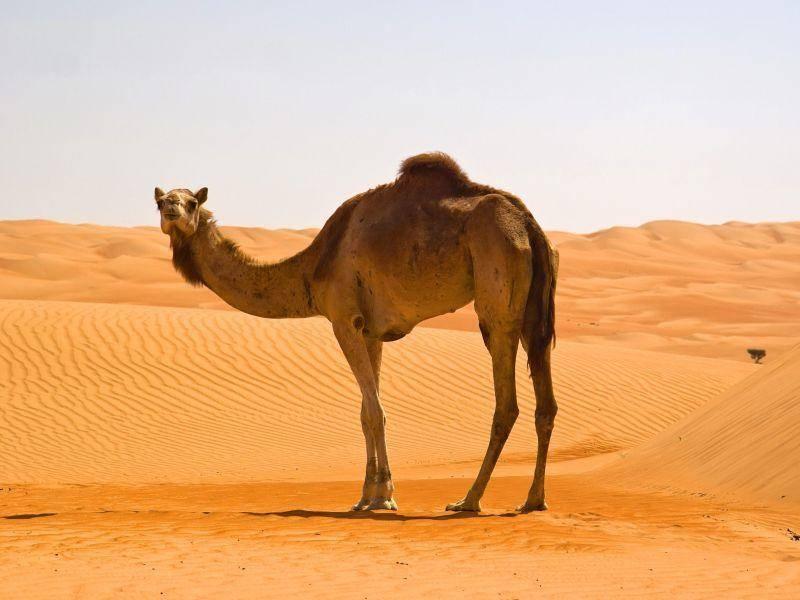 Dromedar: Trinkt in zehn Minuten 120 Liter Wasser – Bild: Shutterstock / Ivan Pavlov