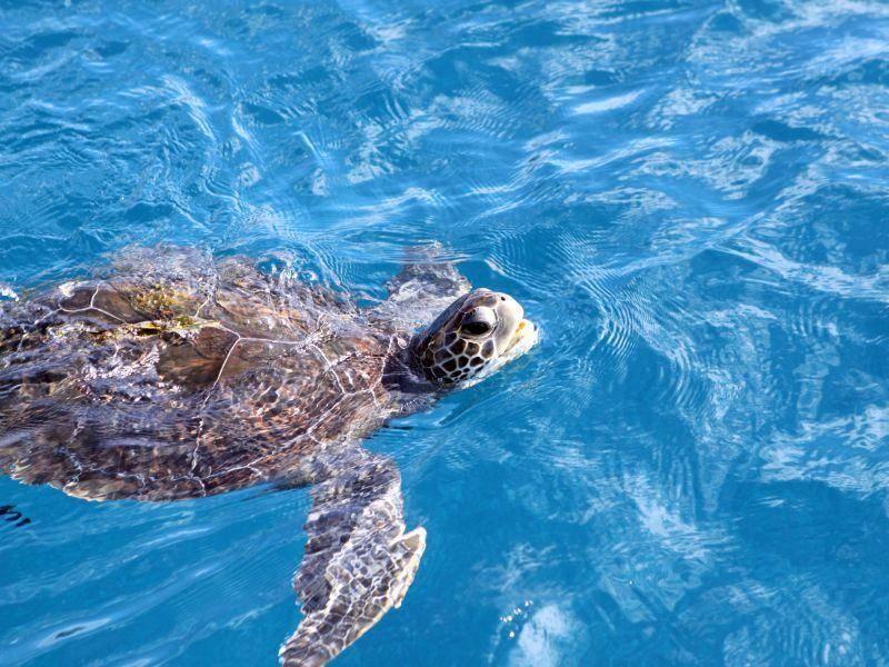 Genießt das Leben: Echte Karettschildkröte im kühlen Nass — Bild: Shutterstock / Hawksbill Turtle