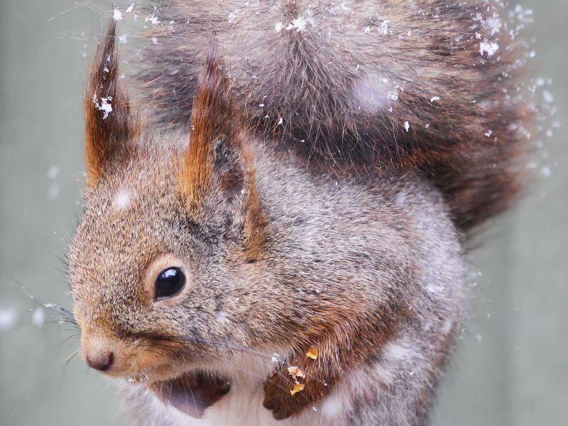 """Eichhörnchen: """"Nüsse im Schnee suchen? Mir reicht's!"""" — Bild: Shutterstock / Anette Holmberg"""