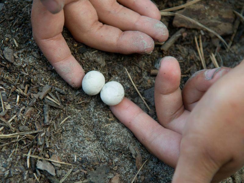 Ganz schön klein, diese Eier. Welches Tier wird wohl rausschlüpfen? — Bild: Shutterstock / Mykola Ivashchenko