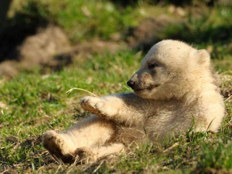 Auch Eisbären genießen gerne mal die Sonne — Bild: Shutterstock / Eric Gevaert