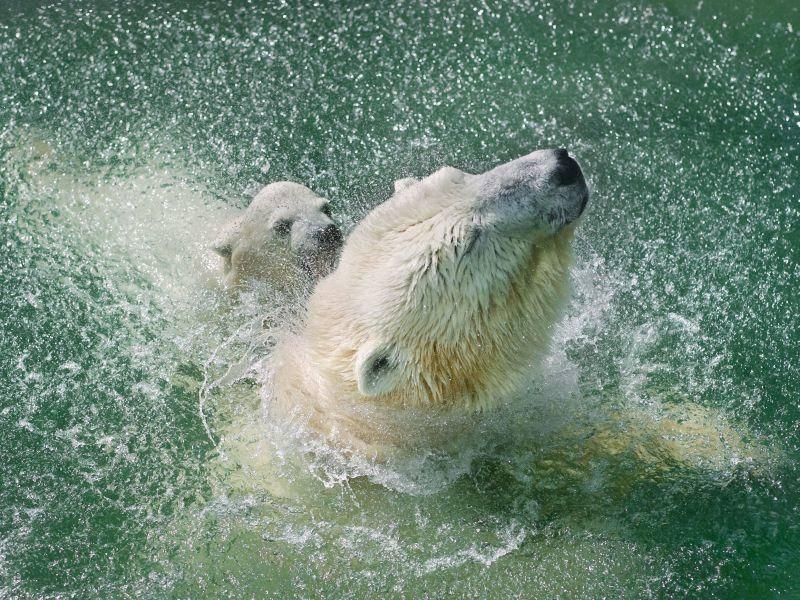 Eisbärenmutter mit Kind: Wie schön planscht es sich zu zweit! — Bild: Shutterstock / andamanec