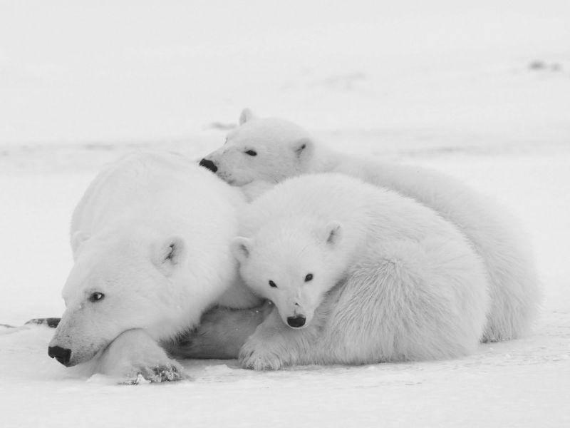 Besser tarnen geht nicht: Eisbärfamilie im Schnee — Bild: Shutterstock / Sergey Uryadnikov