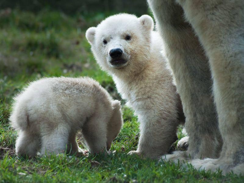 Eisbärchen mit Mutter und kleinem Bruder — Bild: Shutterstock / Eric Gevaert