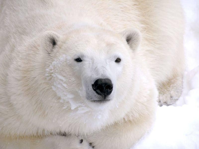 Eisbär von Nahem: Ein schönes Tier — Bild: Shutterstock / Sylvie Bouchard