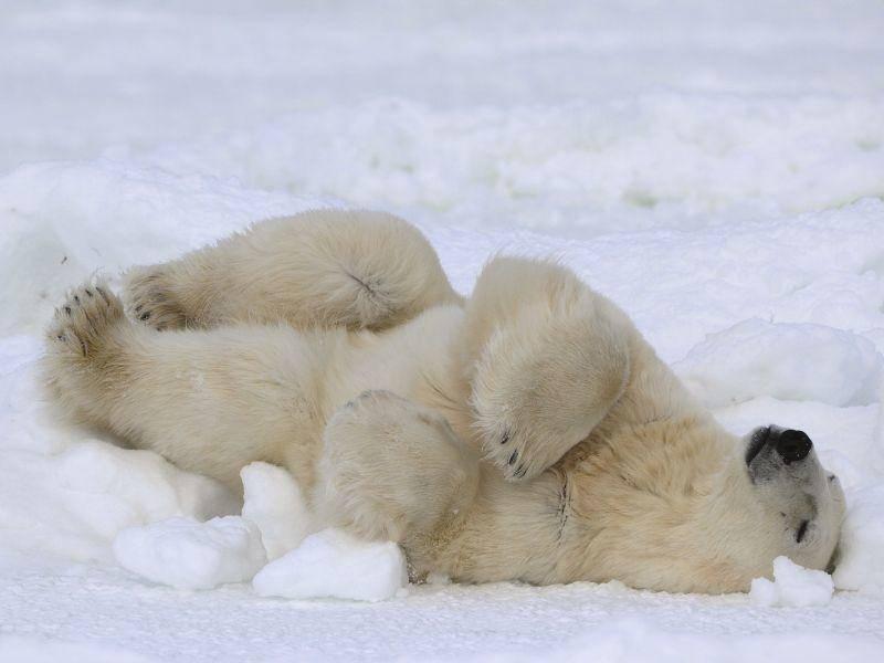 Eisbärenschlafplatz: Im Schnee ist's doch am gemütlichsten — Bild: Shutterstock / Sergey Uryadnikov