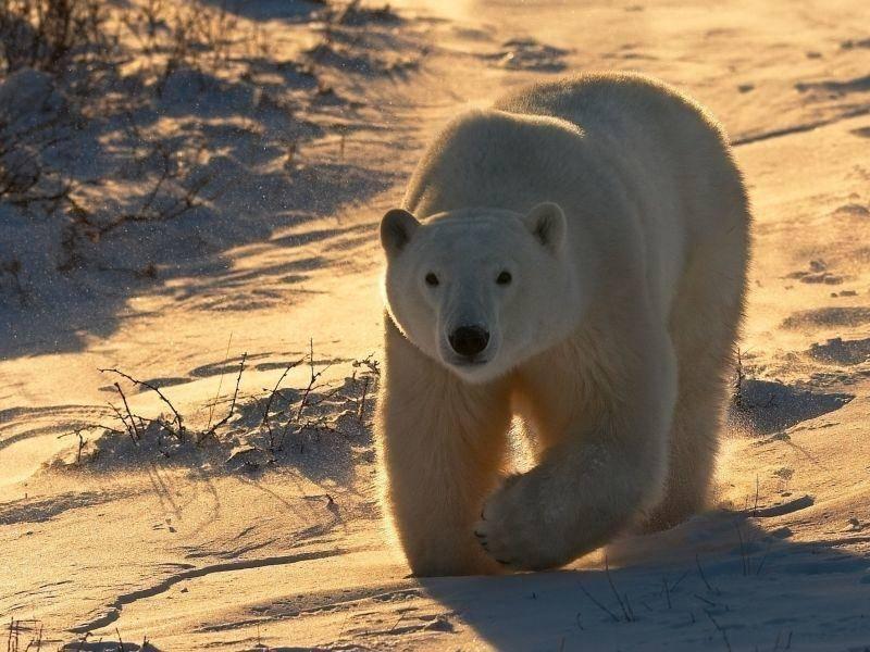 Weißer Riese: Eisbär in seiner vollen Pracht — Bild: Shutterstock / AdStock RF