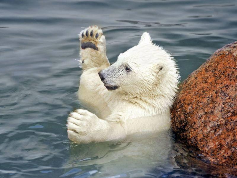 Eisbär spielt im Wasser: Wirf den Ball her! — Bild: Shutterstock / Igor Kovalchuk
