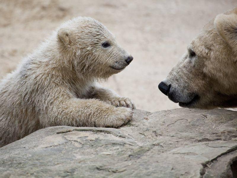 """Kleiner Eisbär: """"Äh du, was ich noch sagen wollte..."""" — Bild: Shutterstock / tjwvandongen"""