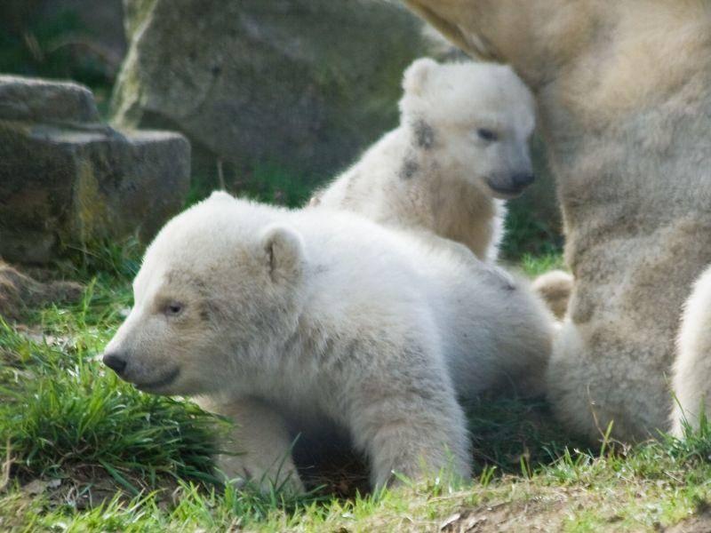 Die Verwandten von Knut: Eisbärgeschwister — Bild: Shutterstock / Colette3