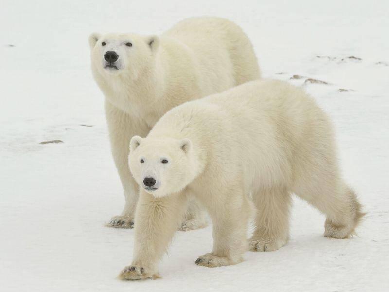 Eisbärspaziergang durch den Schnee — Bild: Shutterstock / Sergey Uryadnikov