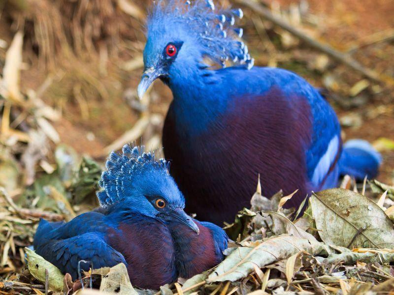 Fächertauben: Besonders schöne Tropenbewohner — Bild: Shutterstock / apiguide
