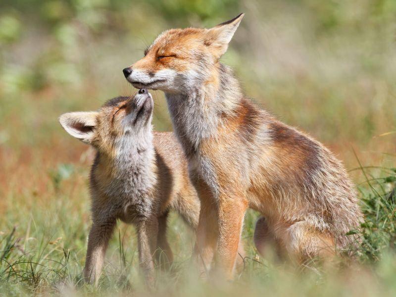 Rotfüchse im Frühling: Ein schöner Anblick — Bild: Shutterstock / Pim Leijen