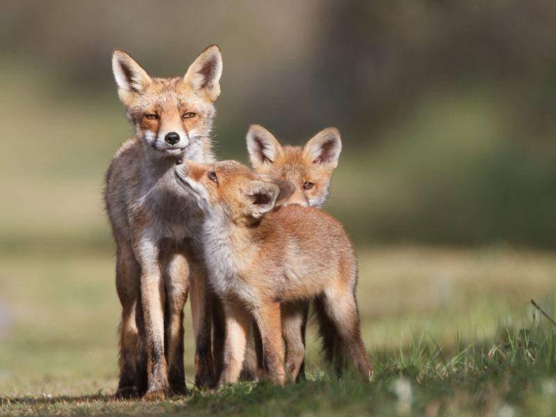 Idyllisch: Rotfüchse beim Familienausflug — Bild: Shutterstock / Pim Leijen