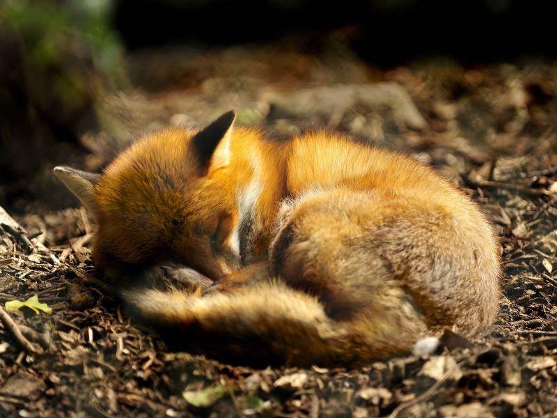 Gemütlich eingerollt: Gute Nacht kleiner Rotfuchs — Bild: Shutterstock / Daniel Gale