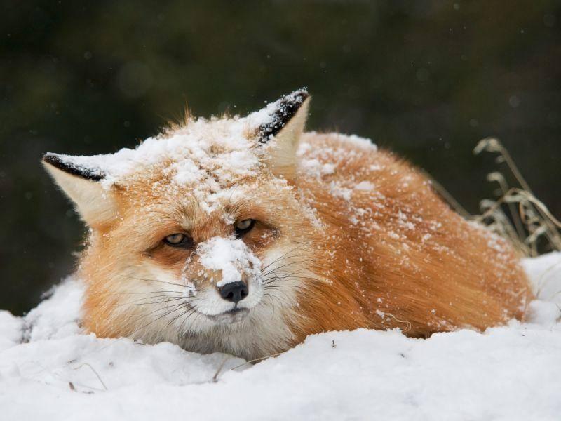 """Fuchs: """"Na toll, wieder bei der Schneeballschlacht verloren..."""" — Bild: Shutterstock / Scott E Read"""
