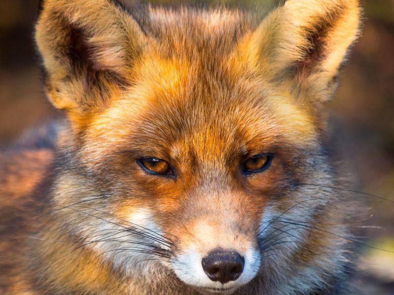 Ganz nah: Ein Rotfuchs genießt die Sonne — Bild: Shutterstock / CreativeNature.nl