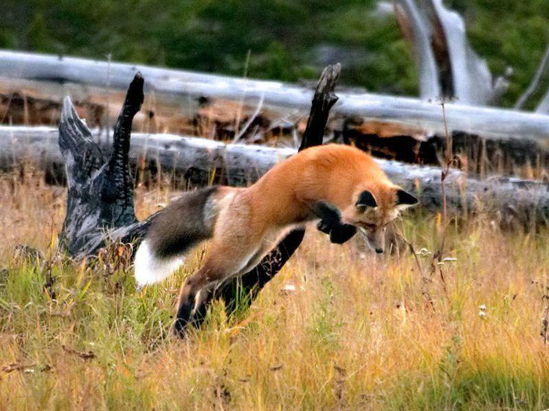 Fang die Maus! Rotfuchs bei der Jagd — Bild: Shutterstock / Wesley Aston