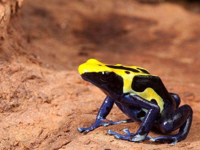 Baumsteigerfrosch in Signalfarben: Den kann man nicht übersehen! — Bild: Shutterstock / Dirk Ercken