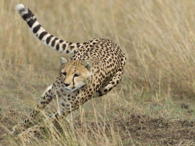 Gepard: Braucht nur drei Sekunden für 100 Meter — Bild: Shutterstock / Stu Porter