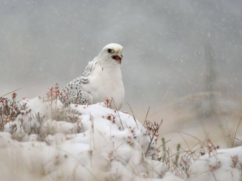 Fortgeschritten im Versteckspiel: Der Gerfalke — Bild: Shutterstock / Stanislav Duben