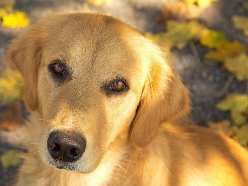 ... weil Golden Retriever einfach wunderschöne Augen haben — Bild: Shutterstock / Erica Sauder