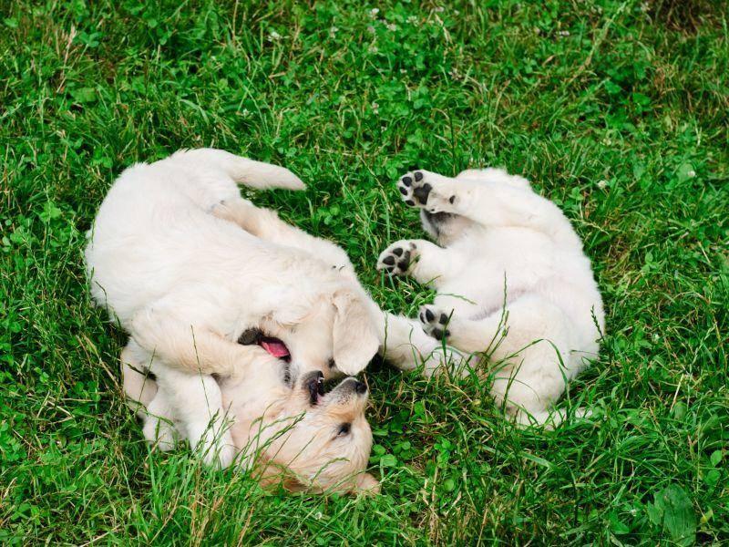 Herumrollen auf der Wiese: So macht das Spielen Hundebabys Spaß — Bild: Shutterstock / oksix