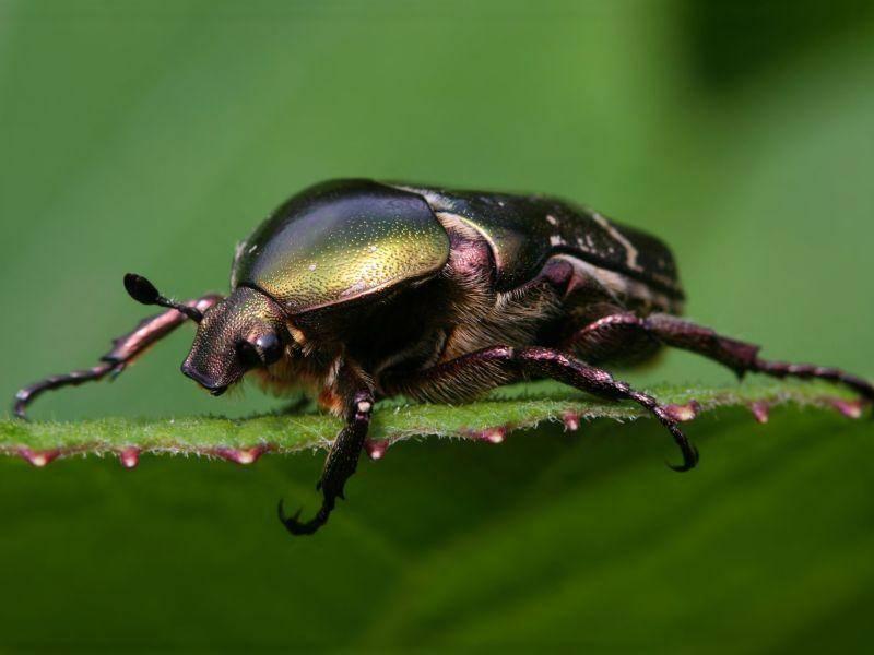 Goliathkäfer: Unter den Käfern ein Schwergewicht mit rund 110 g — Bild: Shutterstock / Miroslav Hlavko