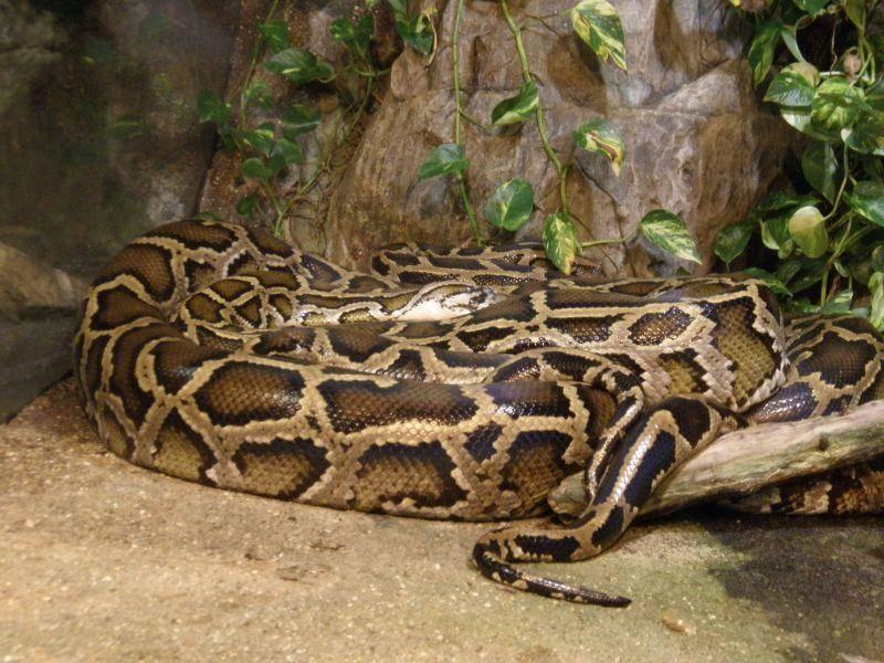 Große Anakonda: Die schwersten Riesenschlangen ihrer Art wiegen über 200 kg — Bild: Shutterstock / greglith