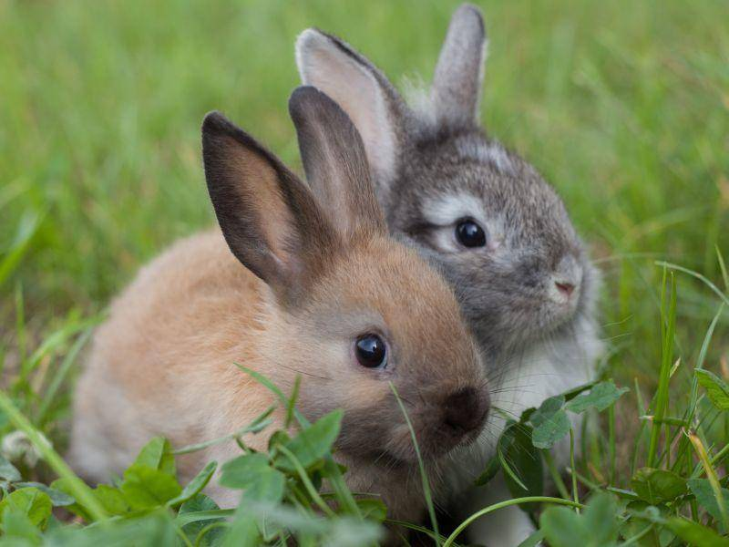 Süßer Anblick: Hasenfreunde im Doppelpack zu Ostern — Bild: Shutterstock / djem