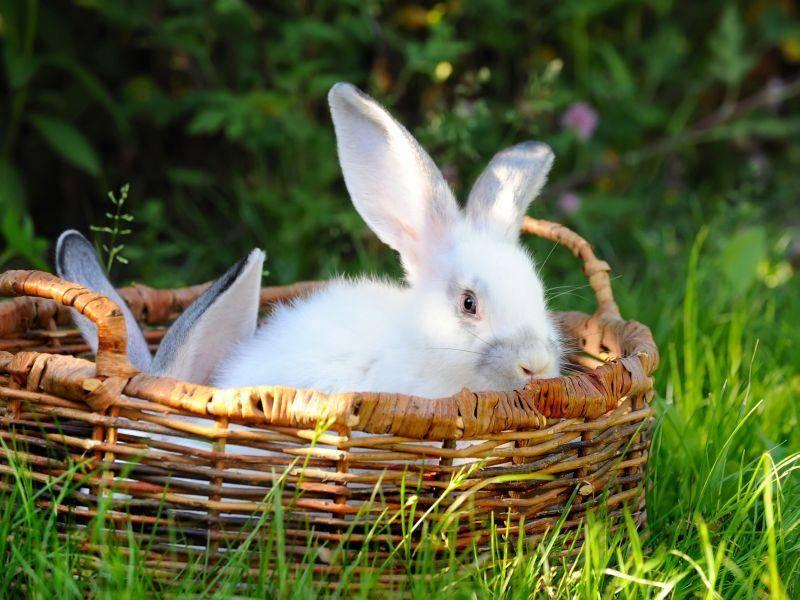 Ins Osterkörbchen verirrt: Zwei hübsche Hasen — Bild: Shutterstock / Nataliia Melnychuk