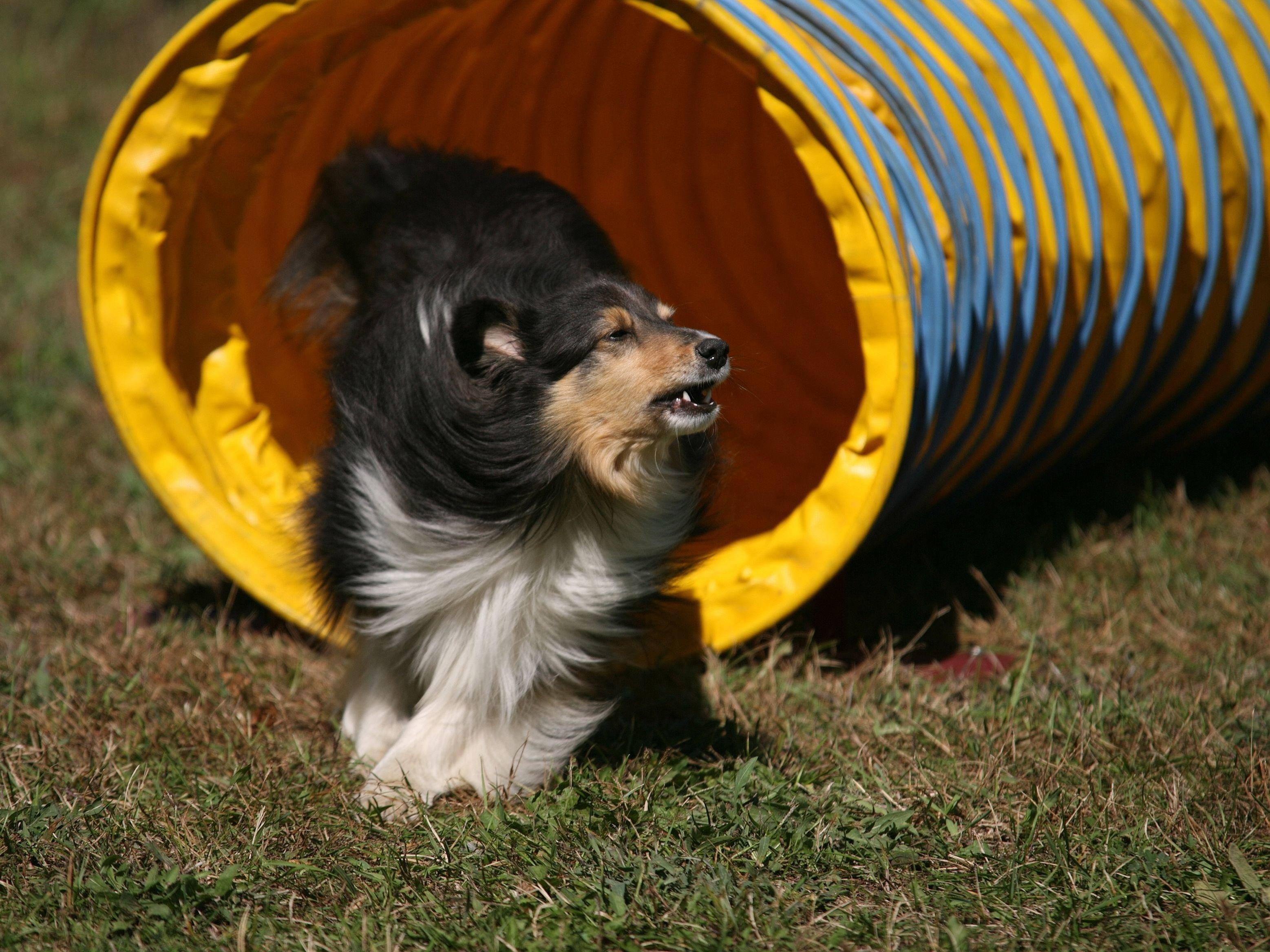 Collie-Mix im Agility-Tunnel: Ein Hund, der den falschen Eingang nimmt, wird disqualifiziert — Bild: Shutterstock / Dennis Donohue