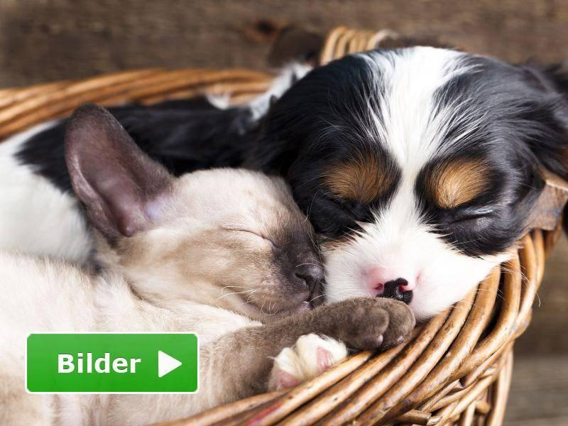 Siamkatze trifft Hundebaby: Tierisch gemütlich — Bild: Shutterstock / Liliya Kulianionak