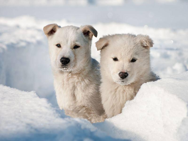 Hundebabys im Schnee: Klein, aber oho! — Bild: Shutterstock / Leonid Ikan