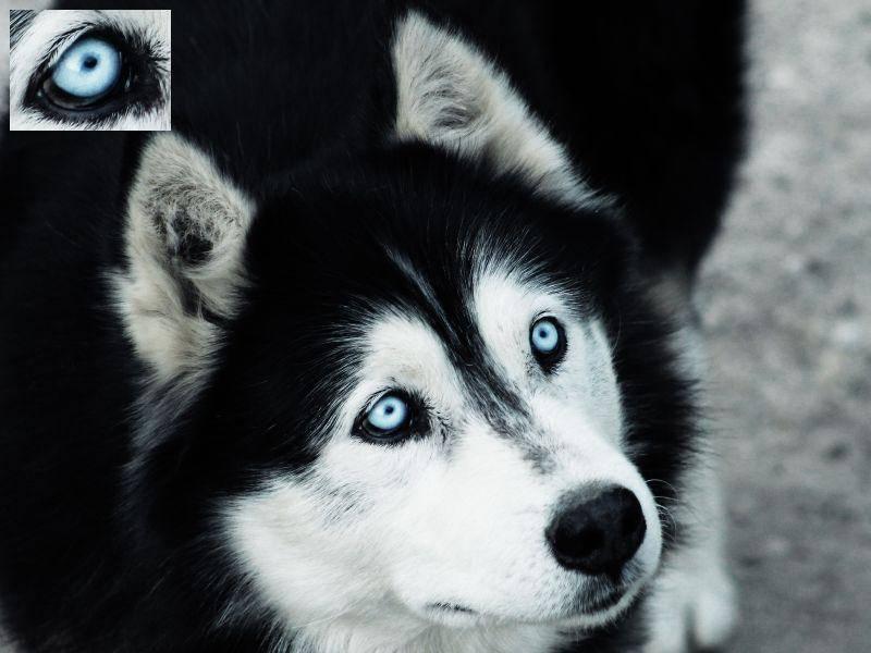 Durch seine intensiven Augen noch faszinierender: Der Husky — Bild: Shutterstock / Nagy Lehel