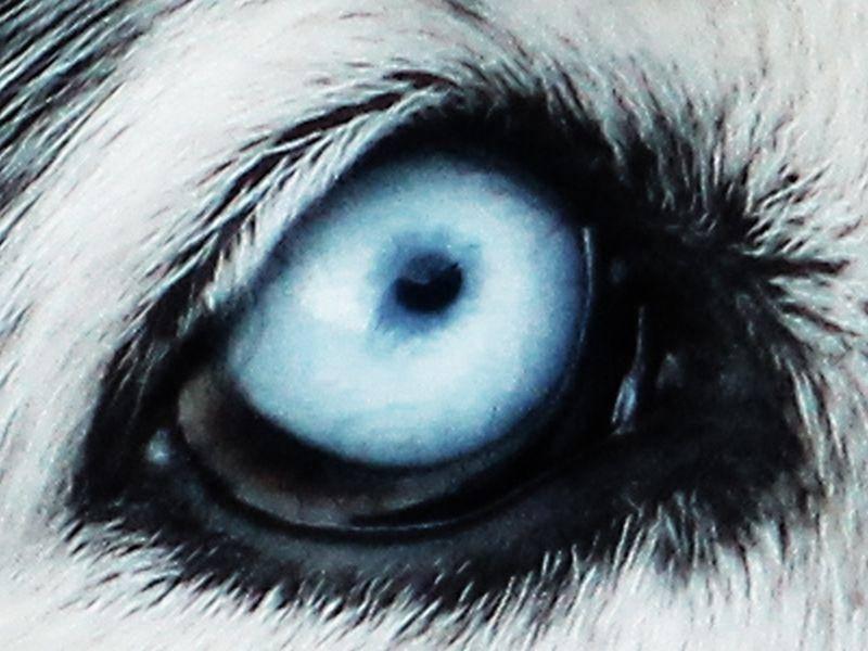 Verträumt und leuchtend blau: Erkennen Sie dieses Tierauge? — Bild: Shutterstock / Nagy Lehel