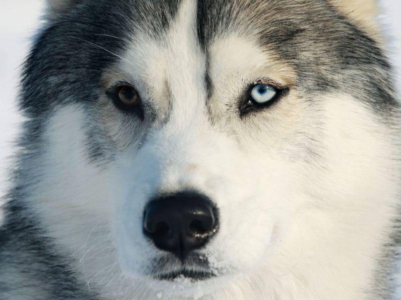 Husky: Schafft 240 Kilometer am Tag – Bild: Shutterstock / mariait