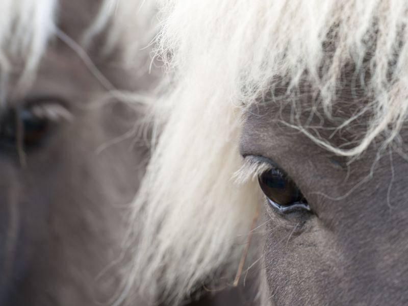So schön sind Islandpferde von Nahem — Bild: Shutterstock / RHIMAGE