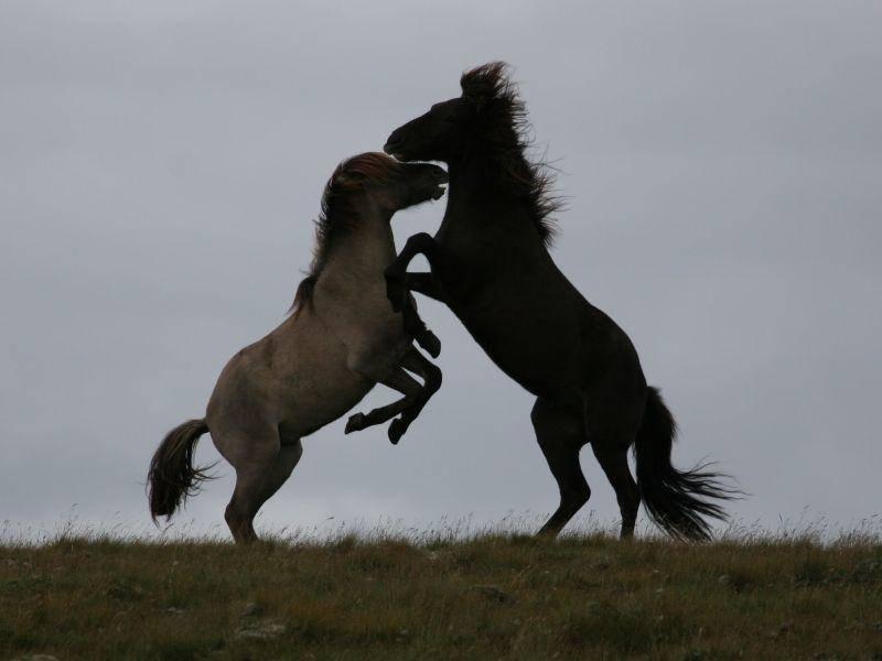 Außerdem toben Islandpferde gern — besonders unter Hengsten — Bild: Shutterstock / Achim Baque
